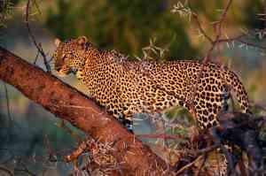 Leopard, Samburu National Park, Kenya by Annelieke Huijgens