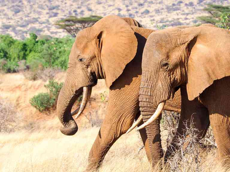 Elephants in Samburu National Park, Kenya by Emily Fraser
