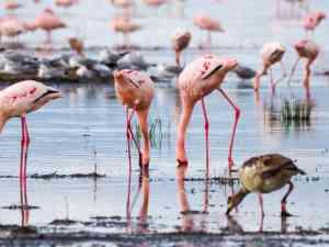 Flamingos Lake Nakuru, Kenya by Emily Fraser