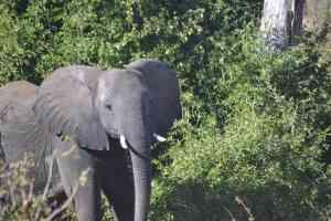 Elephant, Chobe National Park, Botswana by Jeremy van Heerde