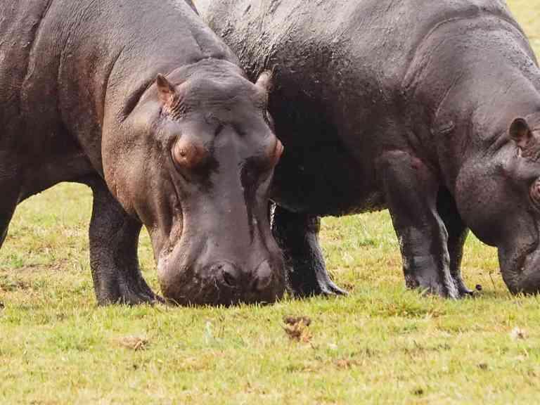 Hippos, Chobe National Park, Botswana by Emily Fraser