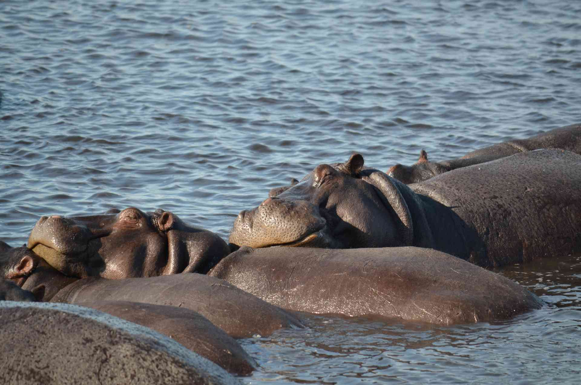 Hippos, Chobe National Park, Botswana by Annelieke Huijgens