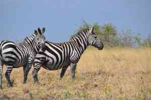 Zebras in Arba Minch, Ethiopia by Annelieke Hujigens