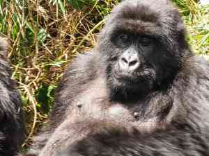 Gorillas, Rwanda by Emily Fraser