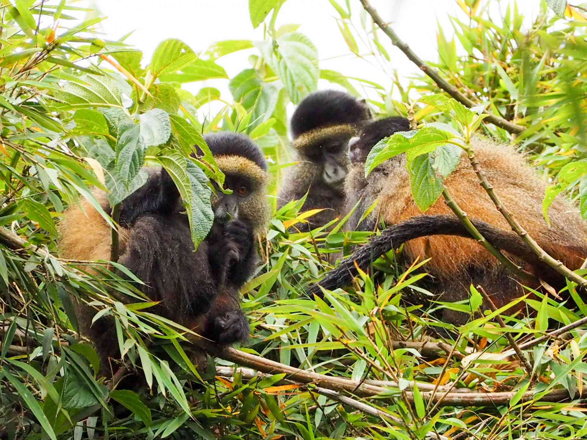 Golden Monkeys, Rwanda by Emily Fraser