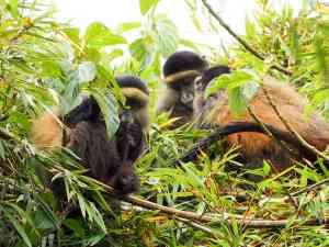 Golden Monkeys, Rwanda by Emily Fraser