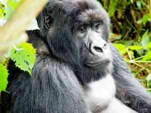 Gorilla, Rwanda by Emily Fraser