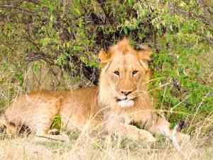 Lion, Maasai Mara, Kenya by Emily Fraser