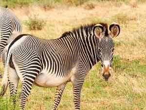 Zebra, Samburu National Park, Kenya by Emily Fraser