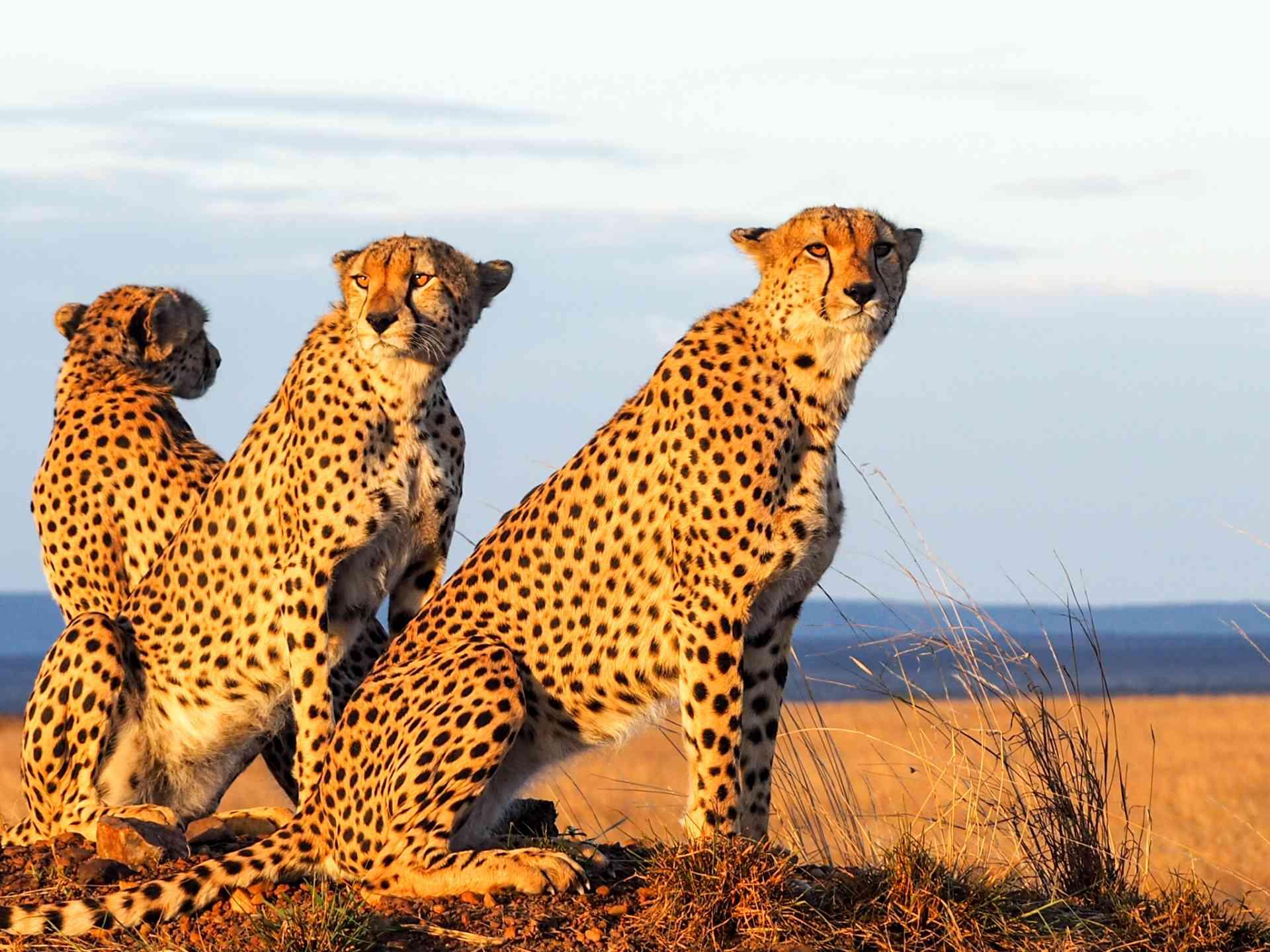Cheetahs, Maasai Mara, Kenya by Emily Fraser