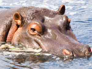 Hippo, Lake Nakuru by Emily Fraser