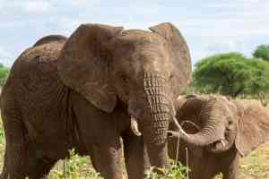 Elephants, Tarangire by Chloe Marshman