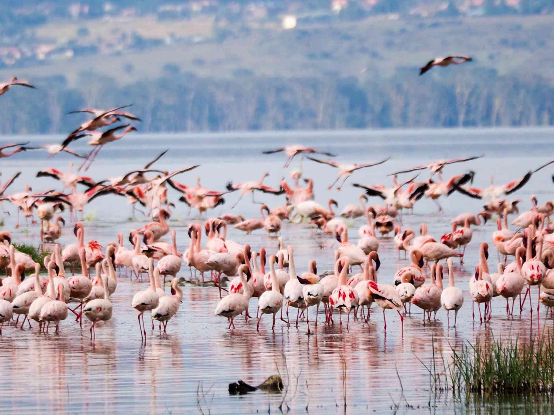 Flamingos, Lake Nakuru by Emily Fraser