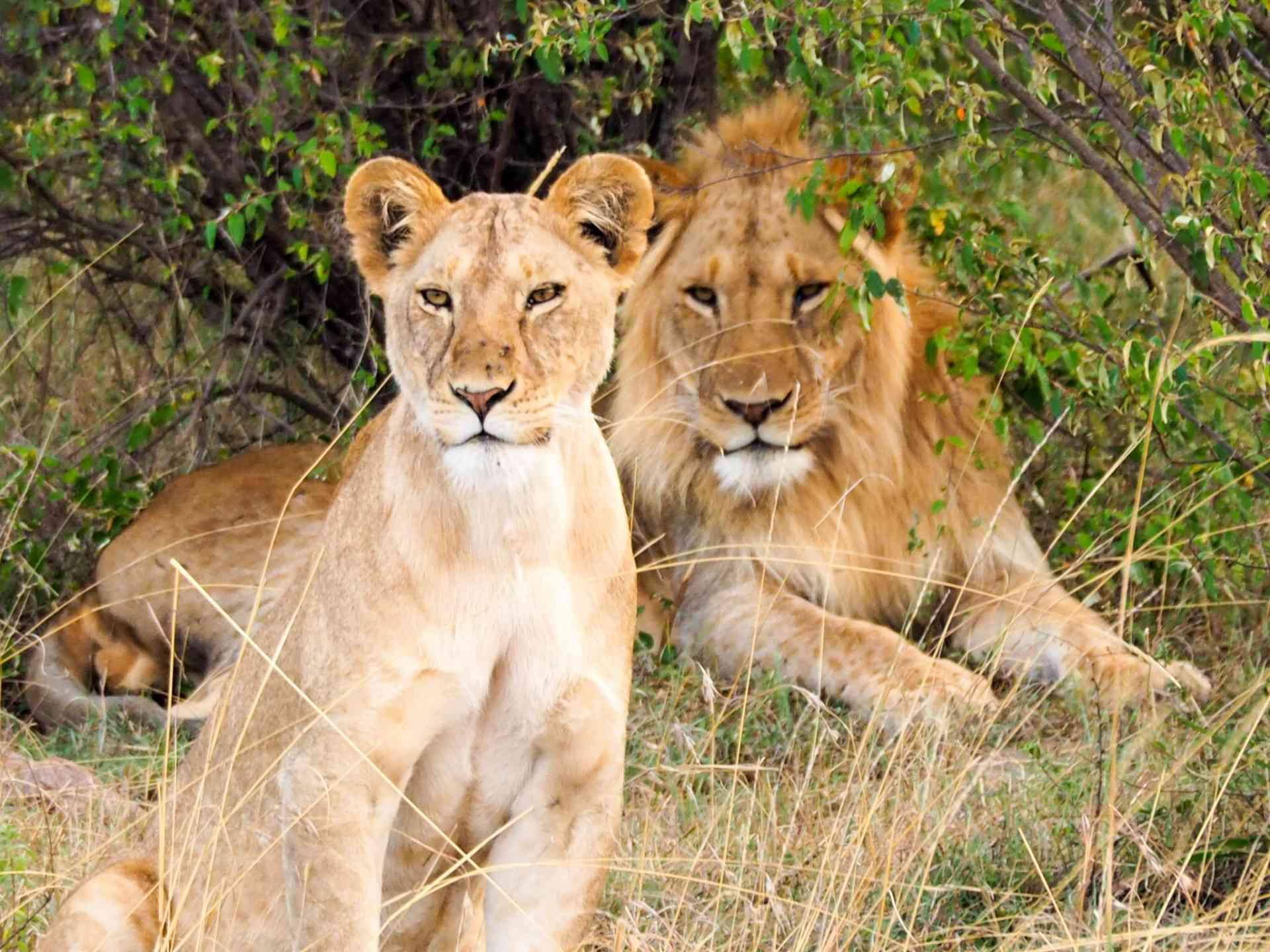 Lions, Maasai Mara, Kenya by Emily Fraser