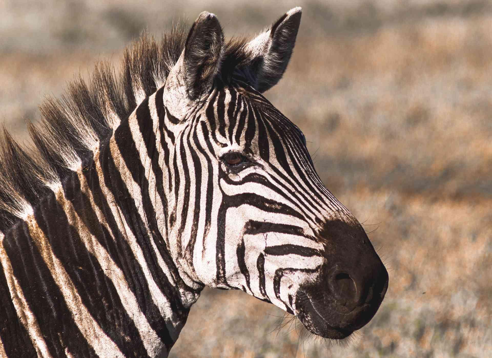 Zebra, Ngorongoro Crater by Chloe Marshman