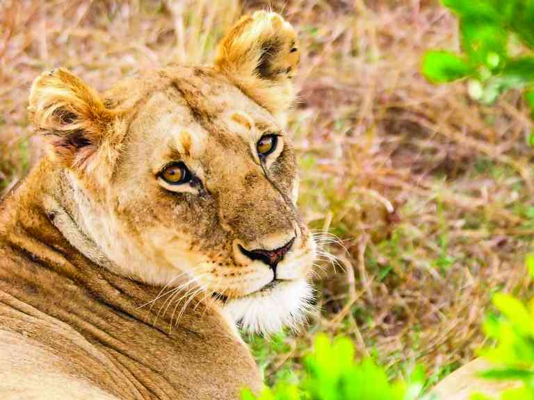 Lioness, Maasai Mara, Kenya by Emily Fraser