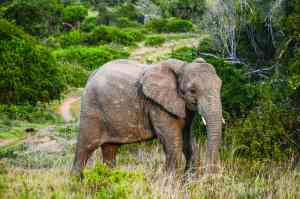 Elephant, Sibuya Game Reserve, South Africa by Annelieke Huijgens