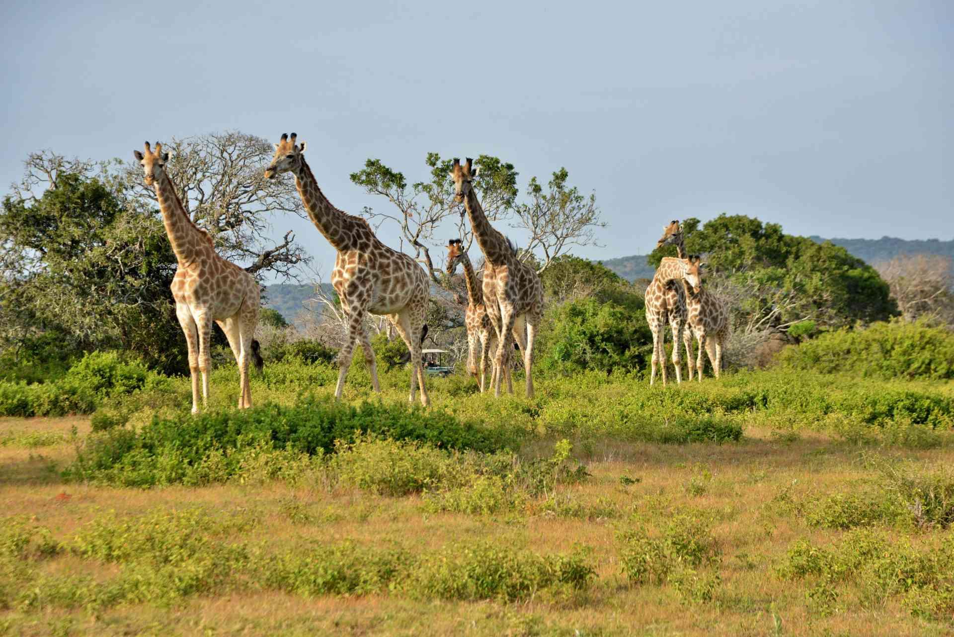 Giraffes, Sibuya Game Reserve, South Africa