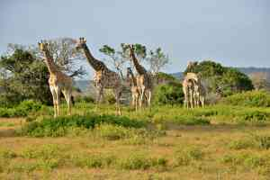 Giraffes, Sibuya Game Reserve, South Africa
