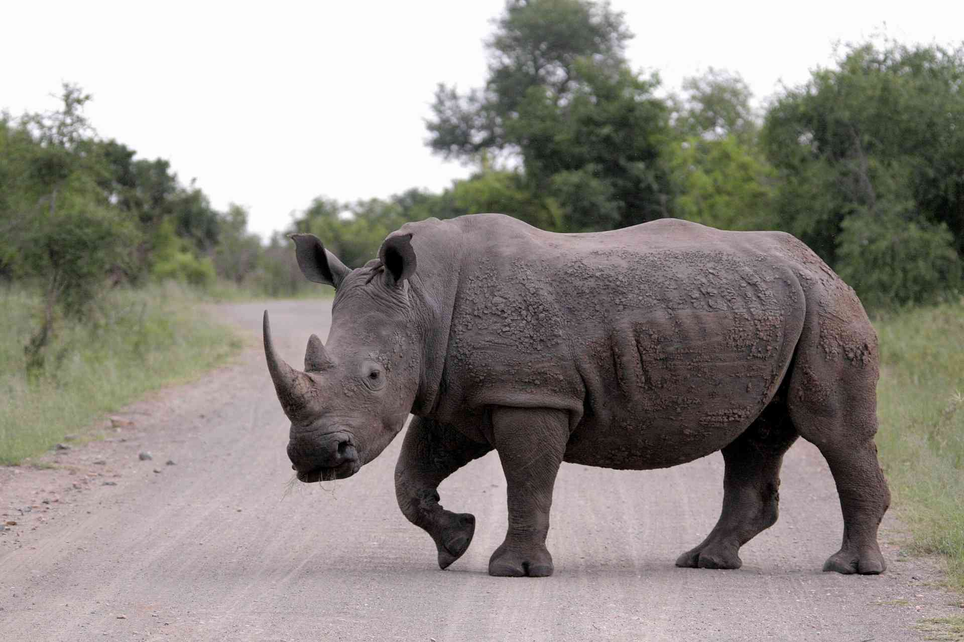 Rhino in Kruger National Park, South Africa