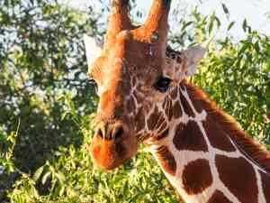 Giraffe, Samburu National Park, Kenya by Emily Fraser