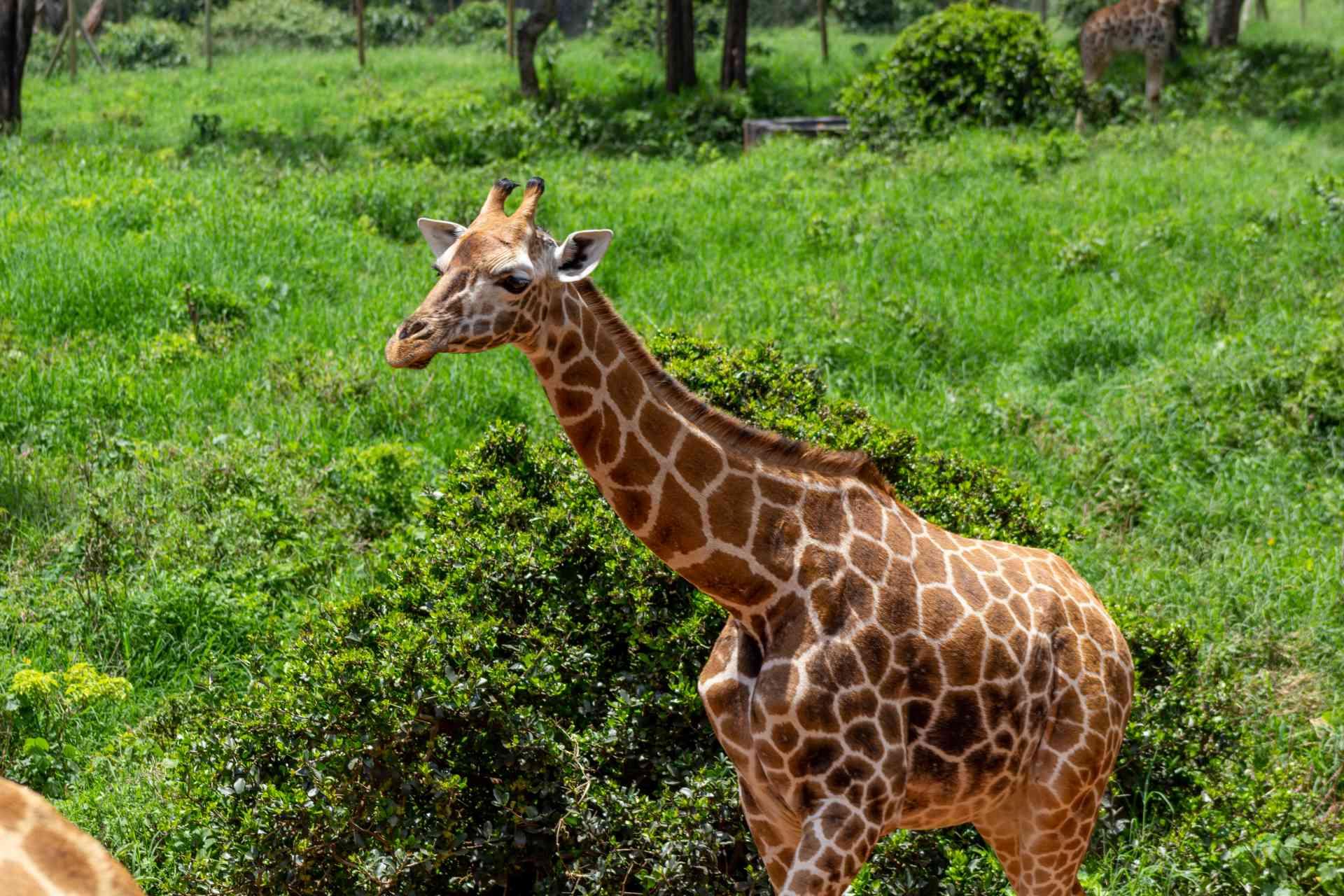 Giraffe Centre, Nairobi, Kenya by Chloe Marshman