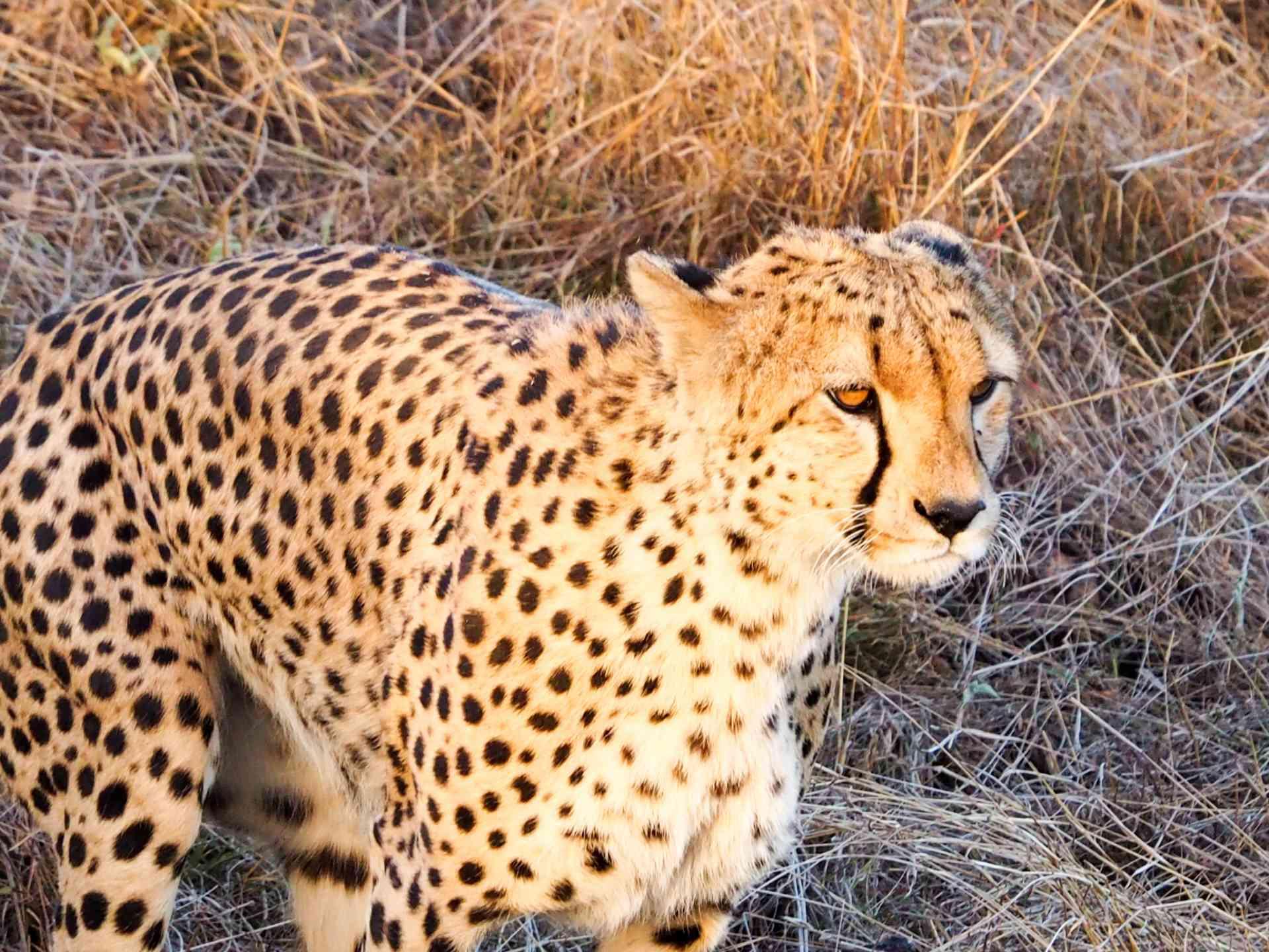 Cheetah, Maasai Mara, Kenya by Emily Fraser