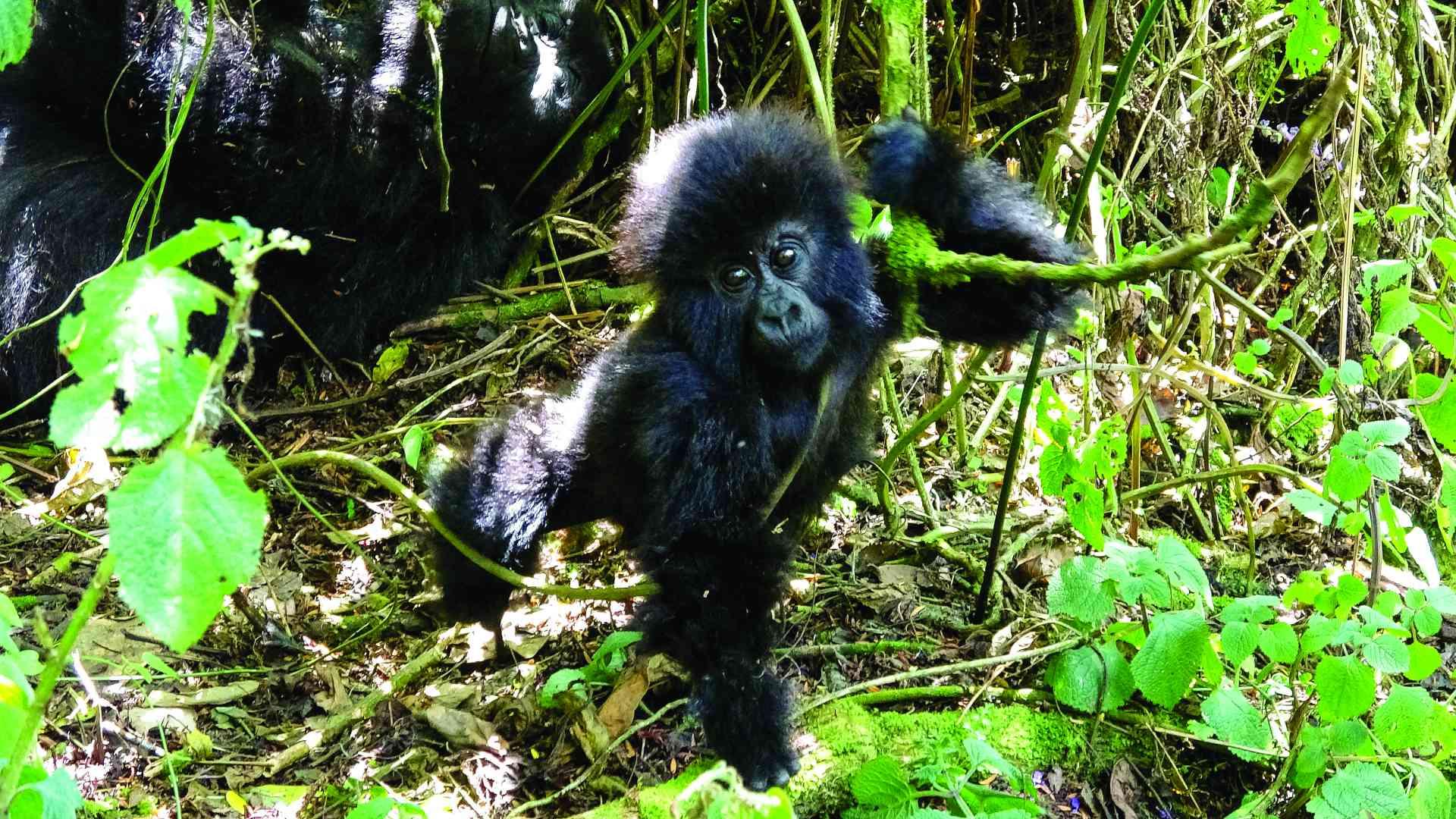Gorilla, Rwanda by Dennis Bunnik