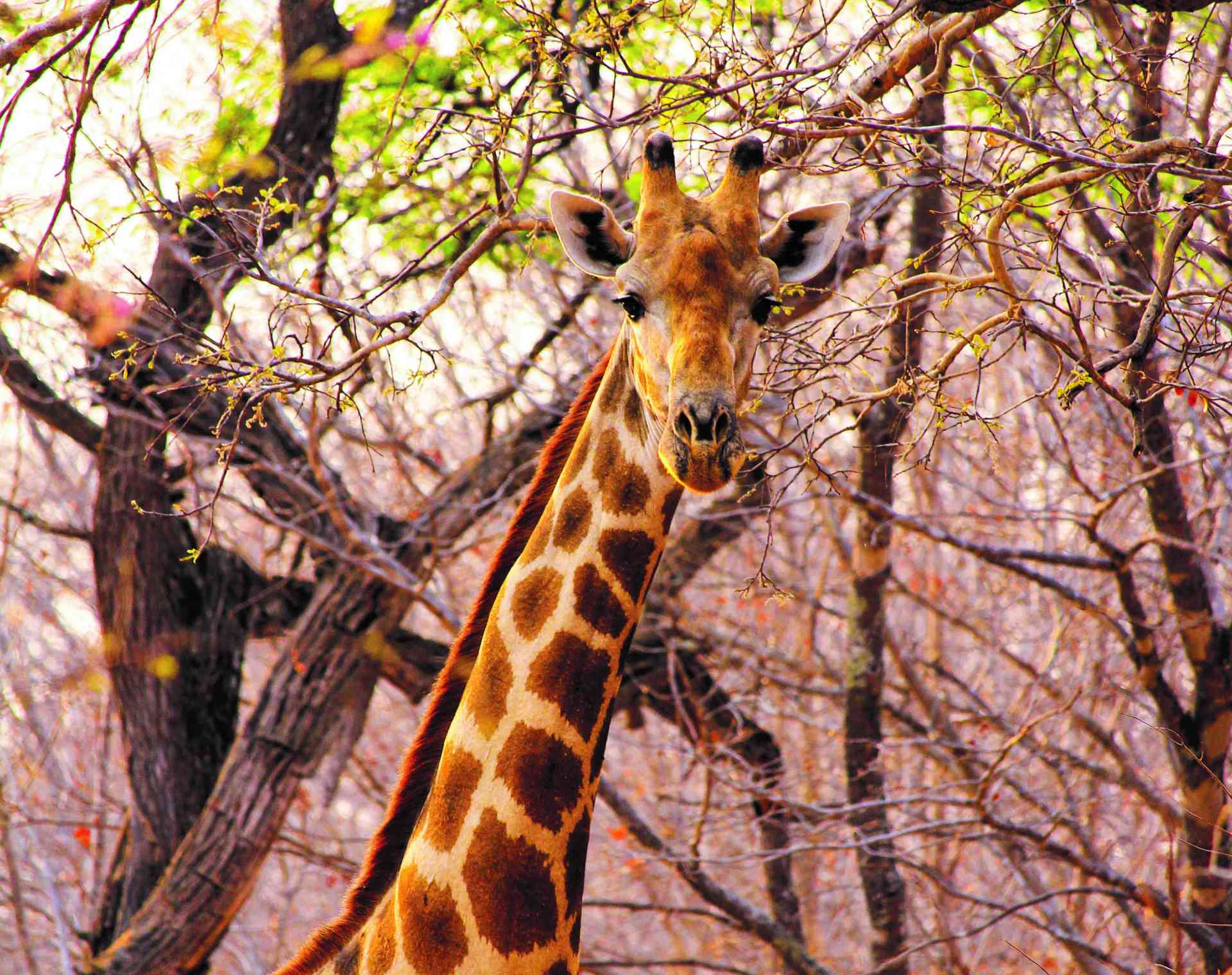 Giraffe, Hwange National Park, Zimbabwe by Abbie Bell