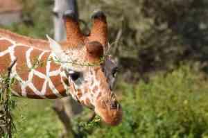 Giraffe at Samburu National Park, Kenya by Annelieke Huijgens