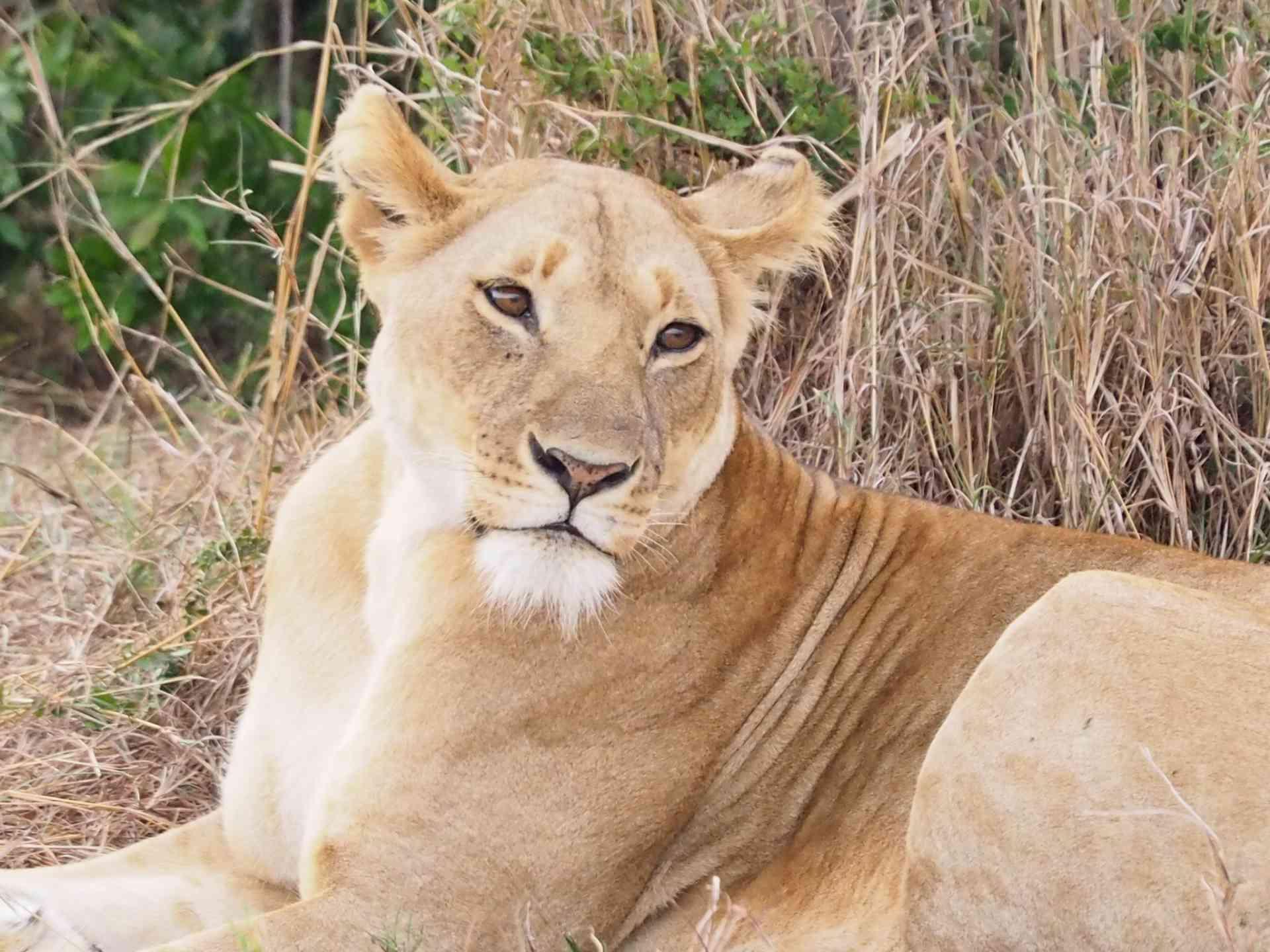 Lioness, Massai Mara, Kenya by Emily Fraser