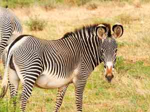Zebra, Samburu National Park, Kenya by Emily Fraser