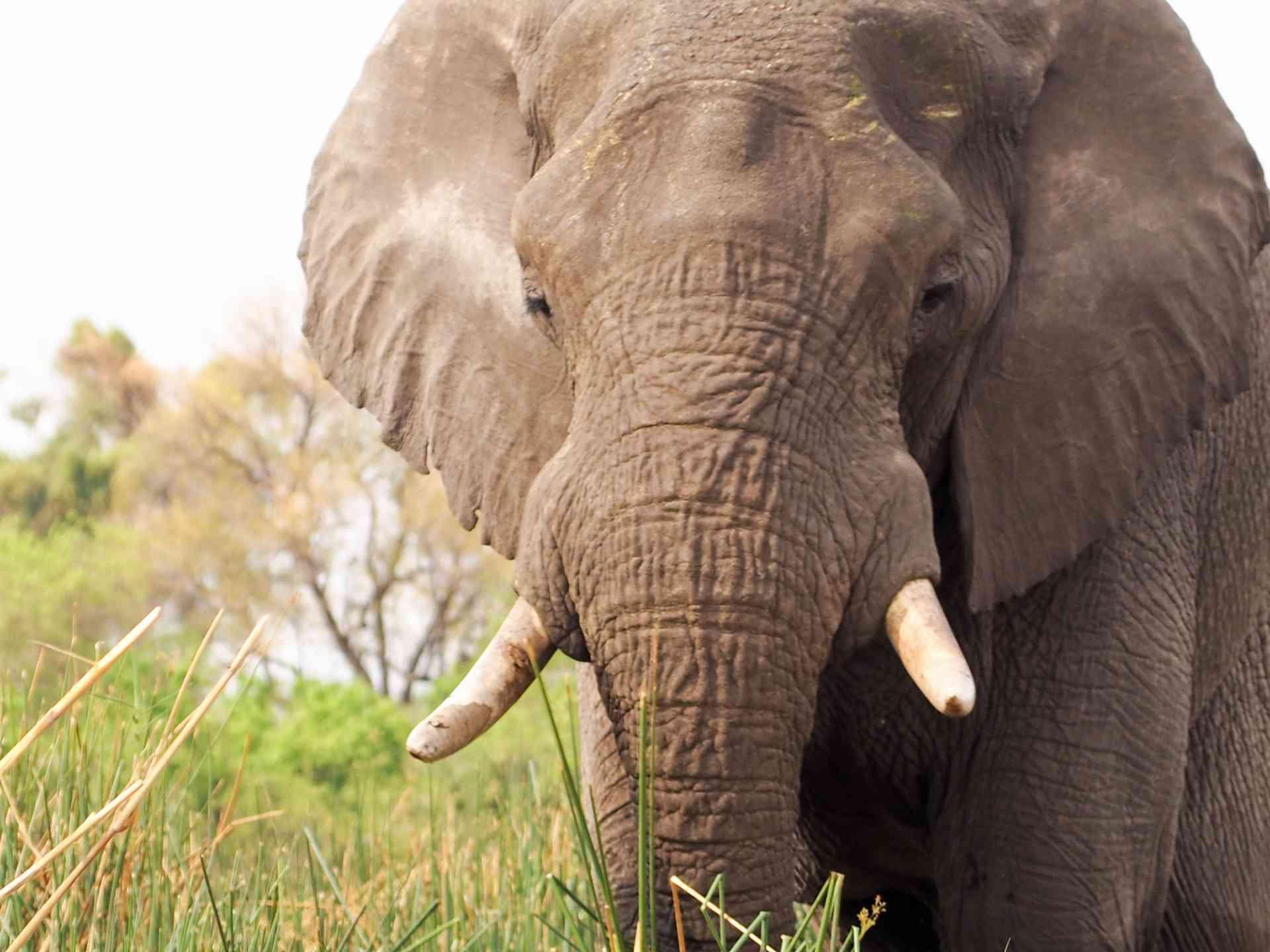 Elephant, Okavango Delta, Botswana by Emily Fraser