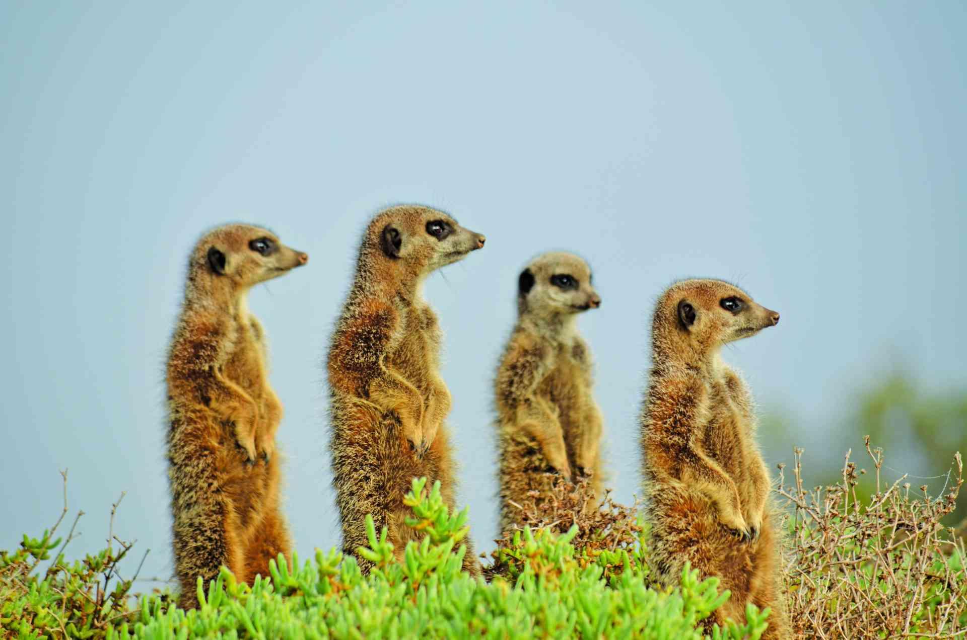 Meerkats, Oudtshoorn, South Africa by Annelieke Huijgens
