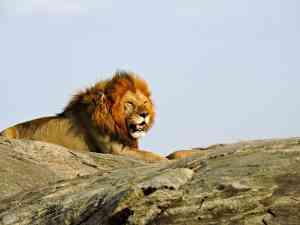 Lion, Serengeti NP, Tanzania by Zoe Francis