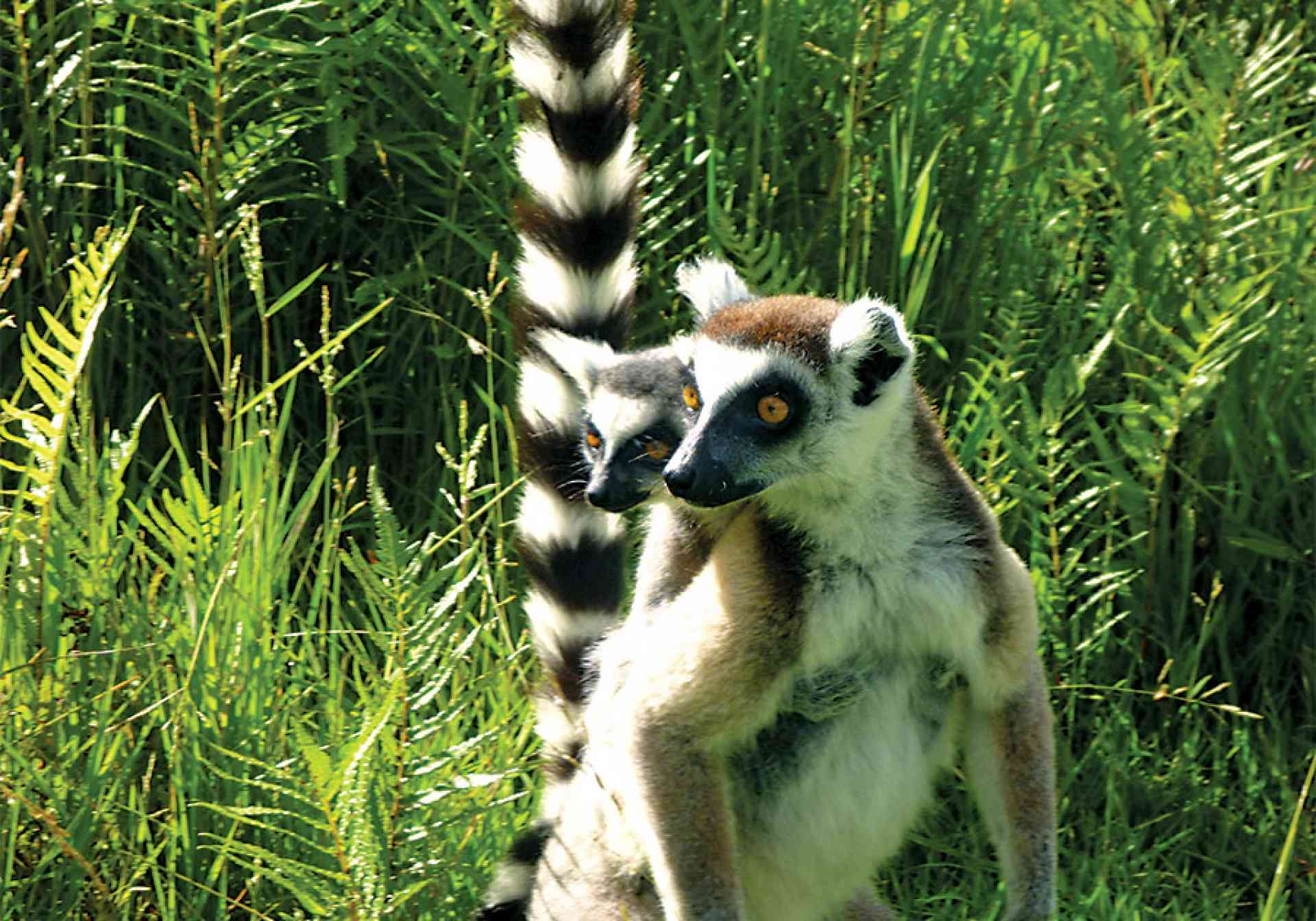 Ring-tailed Lemur by Amelia Winter