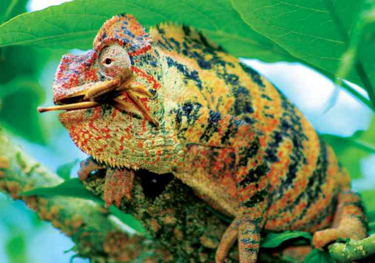 Parson's chameleon by Amelia Winter