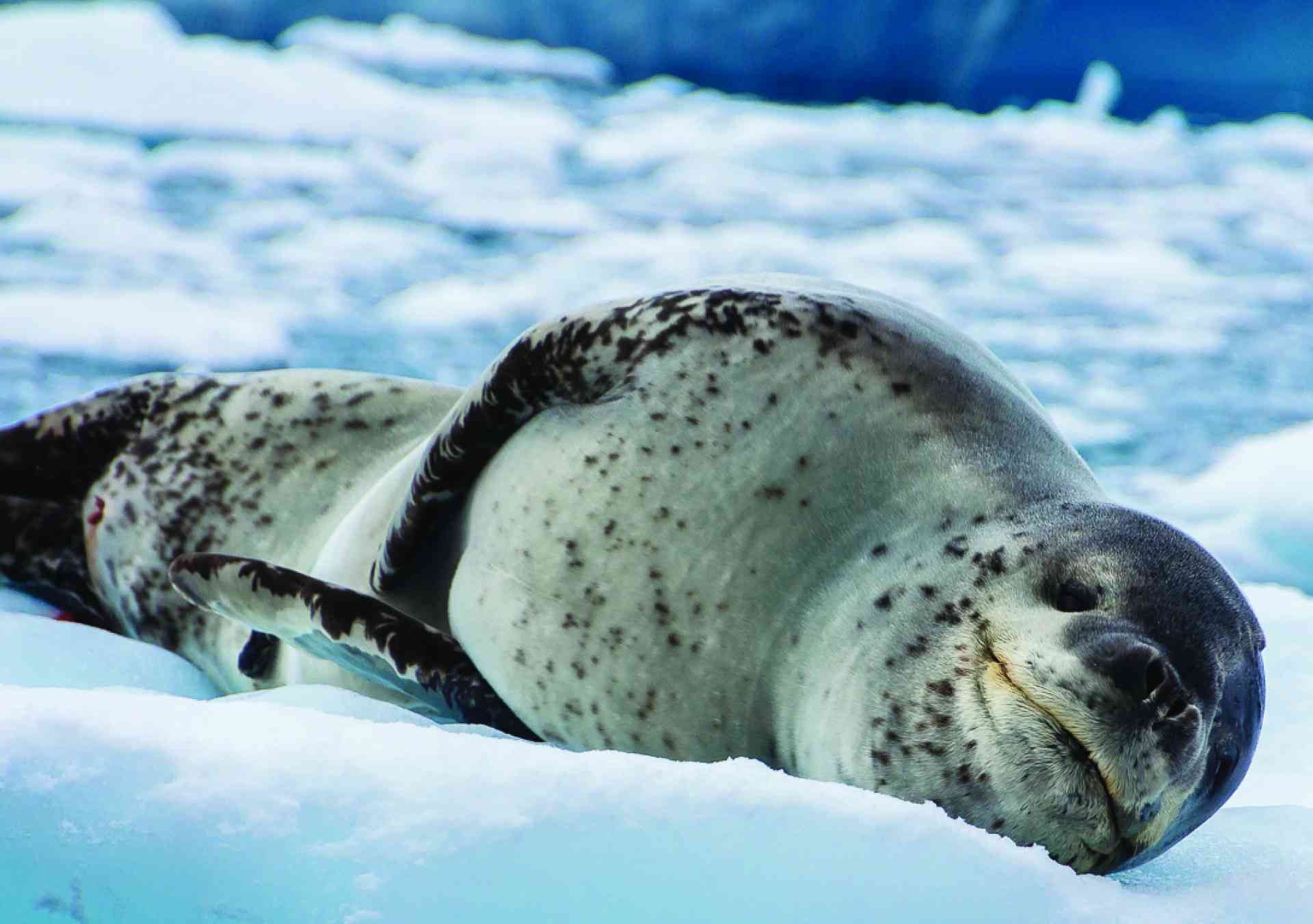 Leopard seal, Antarctica by David Hein