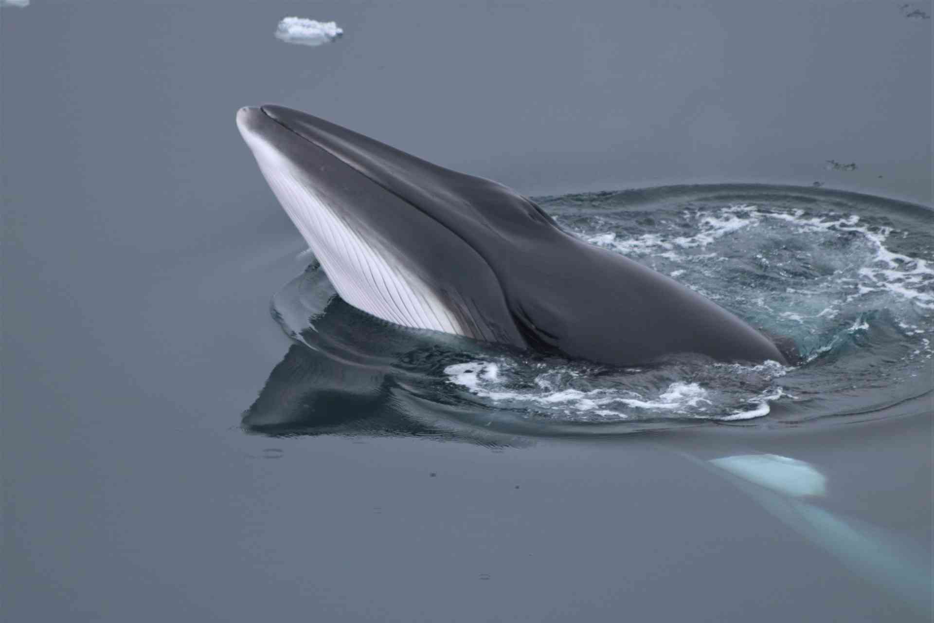 Minke Whale, The Arctic