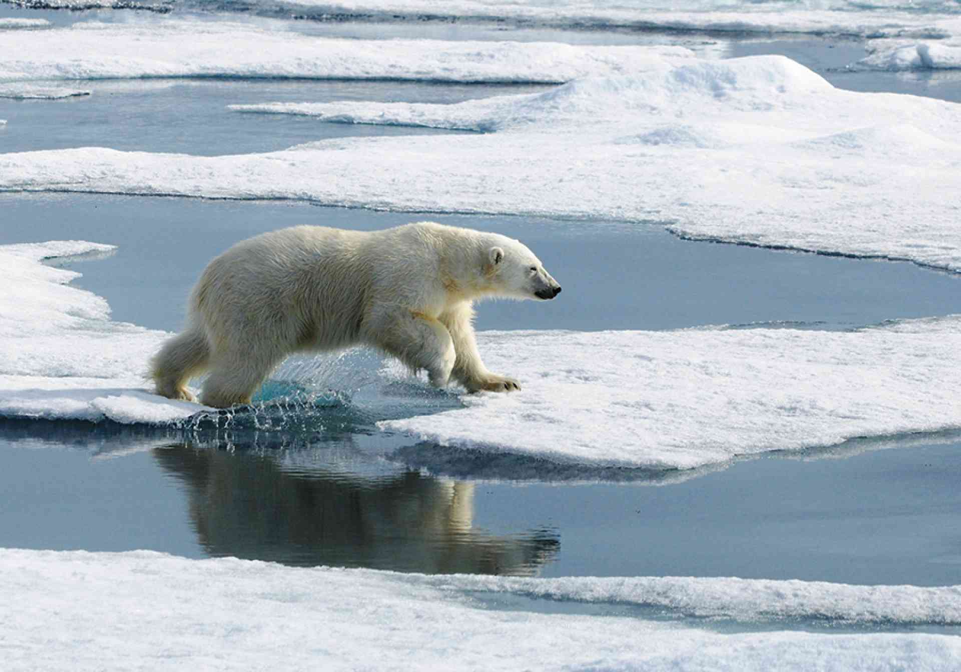 Polar bear walks across the ice in the Arctic, Aurora Expeditions