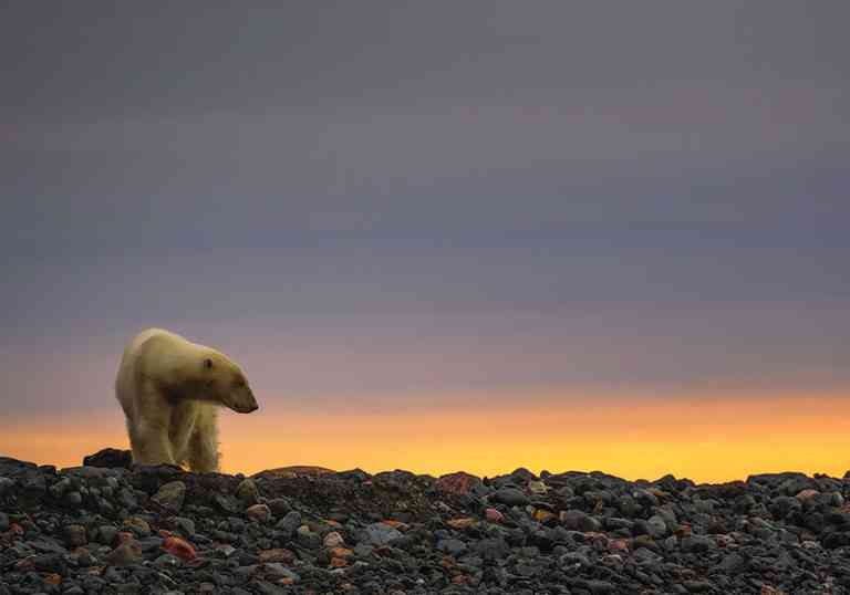 Polar bear with Arctic sunset by Aurora Expeditions