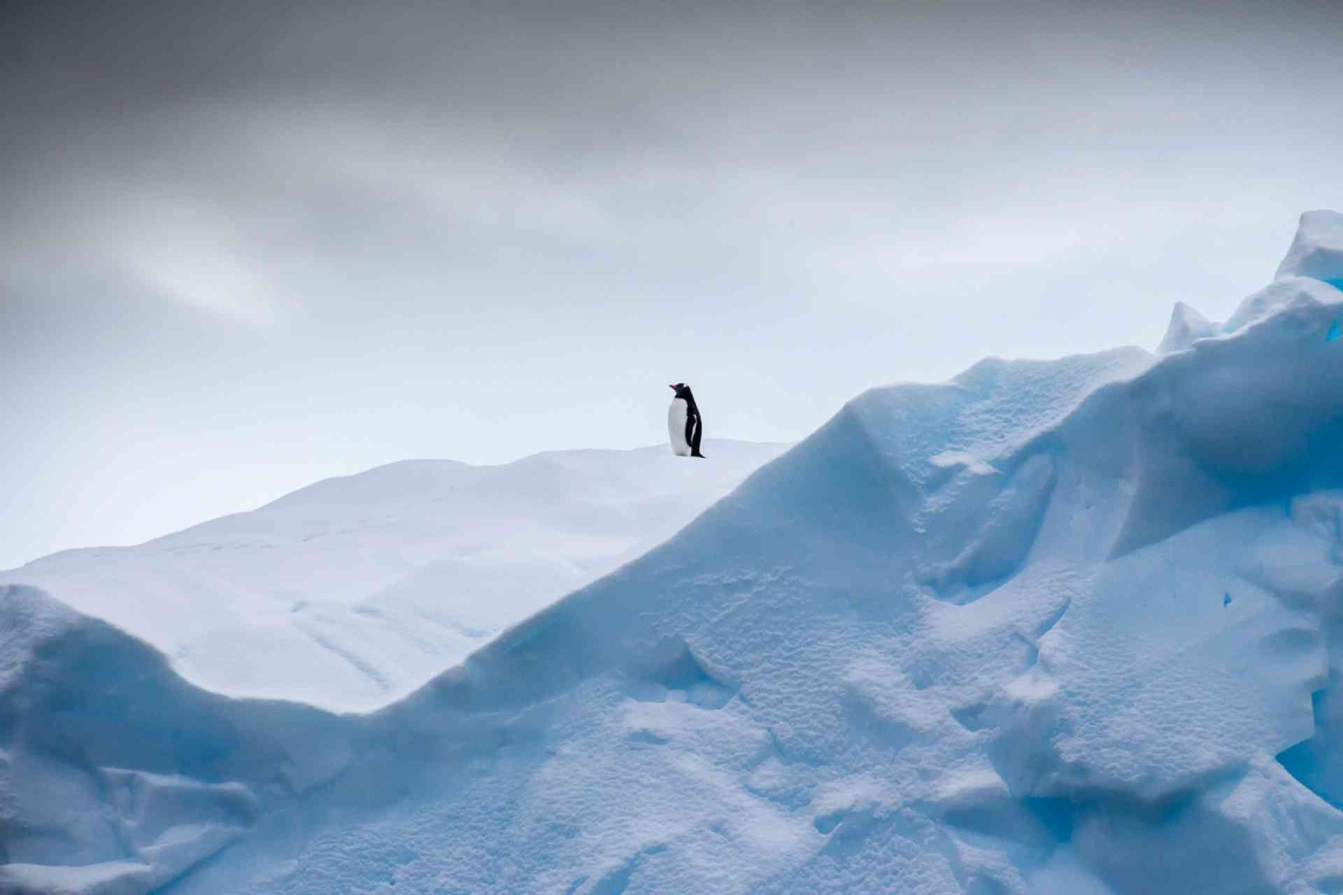 Gentoo penguin in Antarctica by David Hein