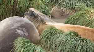 Elephant Seal, Macquarie Island, Australia by Aurora Expeditions