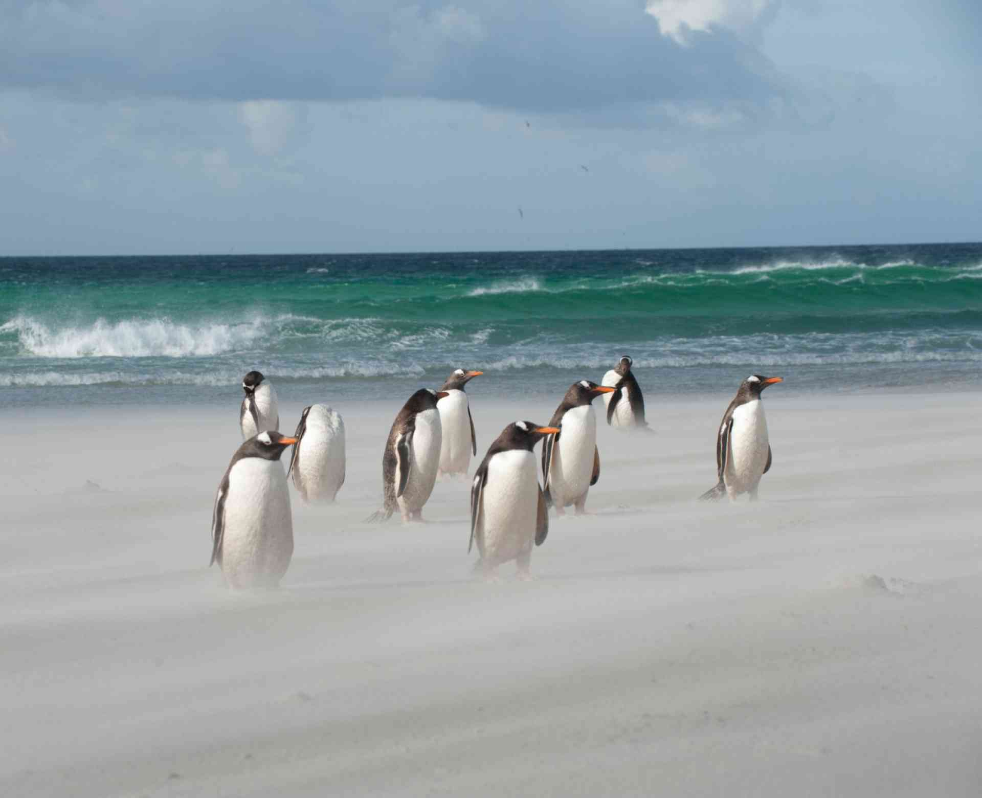 Gentoo's on a windy Falkland beach, Falkland Islands by Oceanwide Expeditions