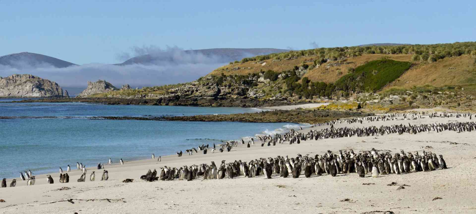Magellanic Penguins, Falkland Islands by Oceanwide Expeditions