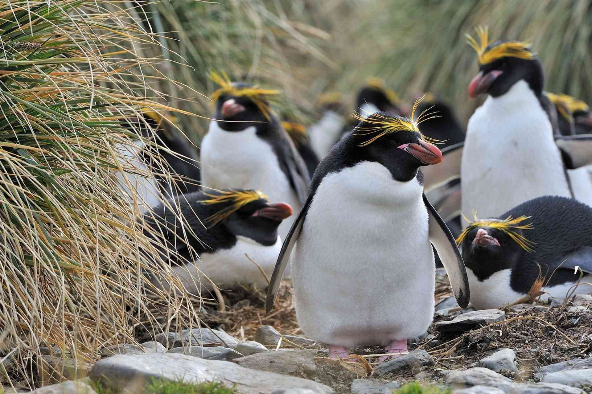Macaroni Penguins, by Oceanwide Expeditions
