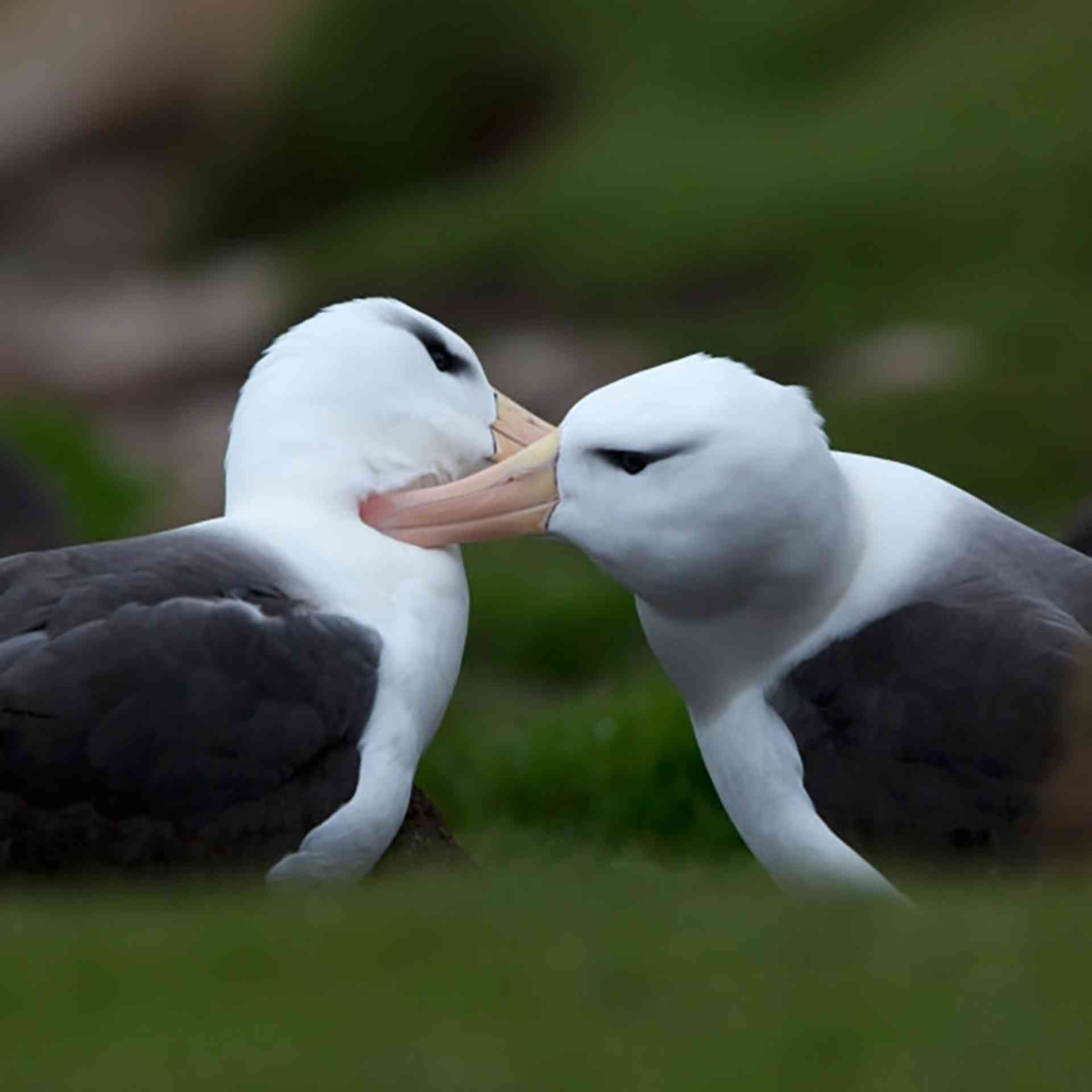 Black-browed Albatross by Wim van Passel - Oceanwide Expeditions