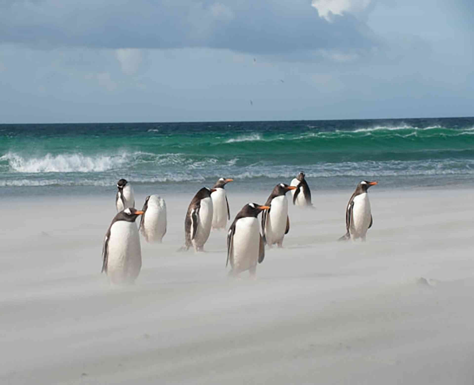 Gentoo's on a windy Falkland Beach by Erwin Vermeulen - Oceanwide Expeditions