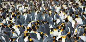 Thousands of King Penguins by Erwin Vermeulen - Oceanwide Expeditions