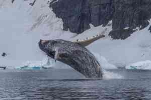 Humpback whale, Antarctica by Aurora Expeditions